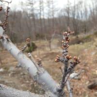 気温上昇を待つ果樹の花芽