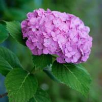 No.4645  ピンクの紫陽花