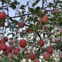 リンゴの王様、ふじの出来は