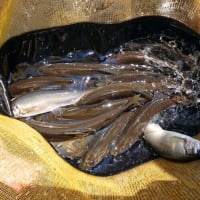 狩野川鮎、バラシた鮎を掛けに