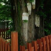 大樹 天然記念物の乳房イチョウ