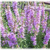 お盆のころの花(^^♪仏前に供えられるのでボンバナ(盆花)とも言われる きれいな赤紫の小さな花がいっぱい「ミソハギ(禊萩)」