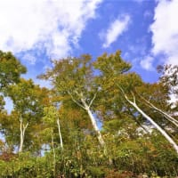 不動地区のブナ林