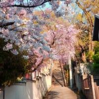 天王寺七坂シリーズ 口縄坂の二色の桜