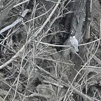 甘鷺,鳬、山翡翠