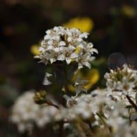 初夏の美しい花~トウサワトラノオとフクロウ 2021