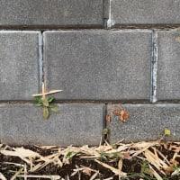 オサンポ walk - スキマ草Plant : 昨日の続きで今日はクロス It's in a cross shape today