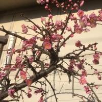 樹齢70年のしだれ梅 ?