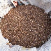 自然農 小麦の脱穀 2021.5.29