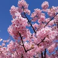 河津桜が満開🌸