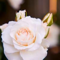 【知新温・作例 (5/16) 初めてのストロボ!薔薇とガーデン撮影実習】