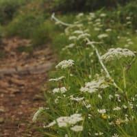 ハクサンボウフウ の咲く道