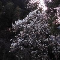 今朝の富士と木蓮の花
