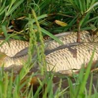 鯉 苗並ぶ田に産卵