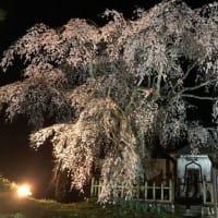 『桜情報』 夜桜バージョン