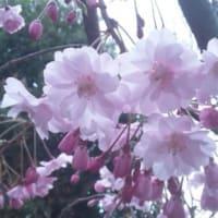 cerisier…