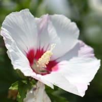フォト575あそび『 花木槿今日一日の眩しさよ 』vys2601