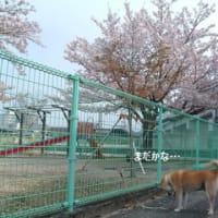 今年も桜とコタ撮れました♪