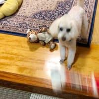 警報は解除になりましたが,散歩には行けず。スリッパ持ち逃げ。スヌーピーのおもちゃで遊ぶ。