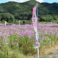 姫路市飾東町 コスモス畑 '21 姫路城と・・・