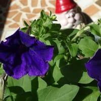 秋の陽射しに濃紫星