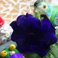 SHOUT!ツアー15番NHKホール②に艶やか濃紫4輪咲いて