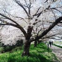 ◆ウォーキング、スタートしました(1回目:7000歩):桜吹雪が幻想的でした。