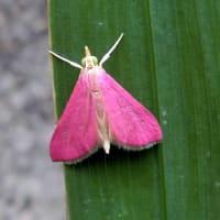 昆虫観察チョウ目編、ツマグロヒョウモンで癒し、クロアゲハ、アカボシゴマダラ、他