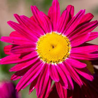 暑さに弱い赤花除虫菊