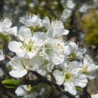 スモモの花も咲き