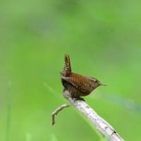 尾羽を上げた姿は、ミソサザイも可愛い。