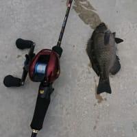 久しぶりにクロダイ釣れました