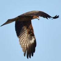 モエレの鳥たち 11/22 みんないなくなって・・・キンクロハジロが4羽だけ