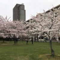 桜満開の中島公園