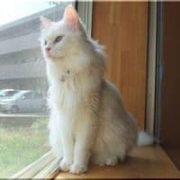 長毛の白猫の女の子(成猫)