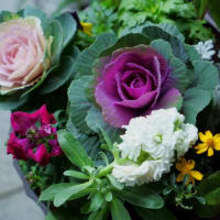 ●我が家の12月の花(3) ミニシクラメン スマホで撮影