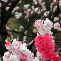 一本の木 一つの枝に白い花びら・赤い花びら・白と赤の花びら・・・・不思議でとてもきれいな花