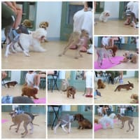 パピーパーティ-開催しました(8/1)【ALOHA塾】  犬のしつけ教室@アロハドギー