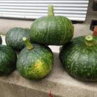 ~かぼちゃの収穫~