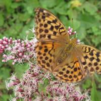 蝶とサワフジバカマ