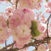 大阪造幣局の通り抜け(桜)