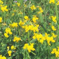 ミヤコグサ マツバウンラン キキョウソウ オオニワゼキショウの花