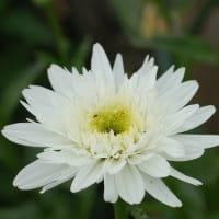 庭の花・ラベンダーなど