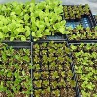食用の生姜とは違うの?ジンジャーリリー・オレンジとイエロー。カンナ。リュウキュウアサガオ/秋野菜の苗、定食。