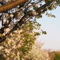 野川の桜(⋈◍>◡<◍)。✧♡