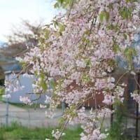 桜の季節もそろそろ終わり