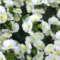 ネメシア・ピンクレモネードの花は