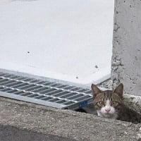 緊急手配の猫