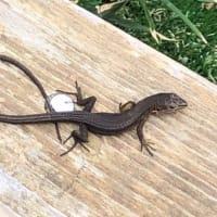 伊豆大島の爬虫類(伊豆大島の動物シリーズ5・ジオガイド養成講座より)