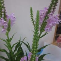 ノリウツギという花
